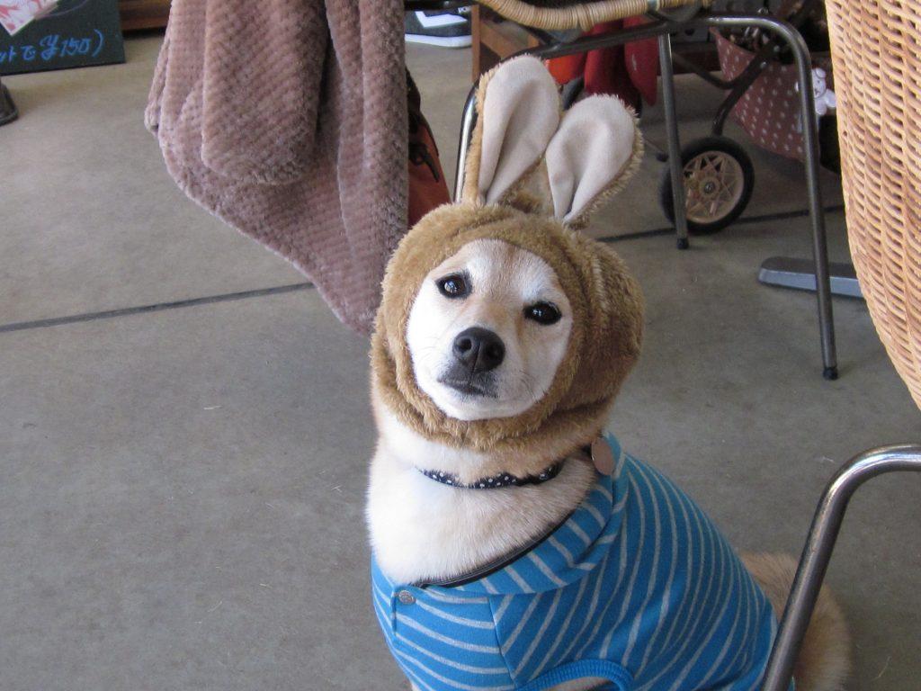 柴犬のみかんちゃん